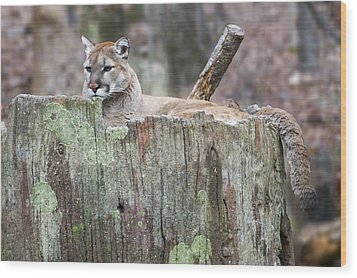 Cougar On A Stump Wood Print by Chris Flees