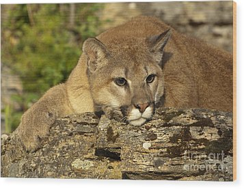 Cougar On Lichen Rock Wood Print by Sandra Bronstein