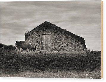 Cow Grazes At Rustic Barn  Wood Print