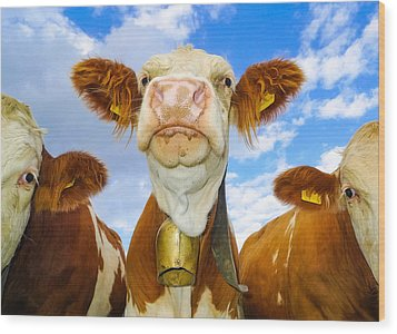 Cow Looking At You - Funny Animal Picture Wood Print by Matthias Hauser