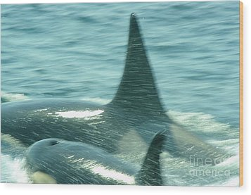Cow Orca And Her Calf Wood Print by Jeff Swan