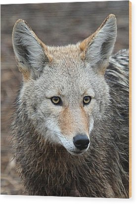 Wood Print featuring the photograph Coyote by Athena Mckinzie