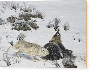 Wood Print featuring the photograph Coyote Biting A Grizzly by J L Woody Wooden