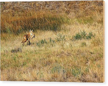 Coyote Catch Wood Print by Rebecca Adams