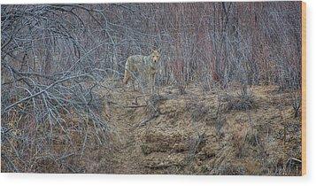 Coyote In The Brush Wood Print