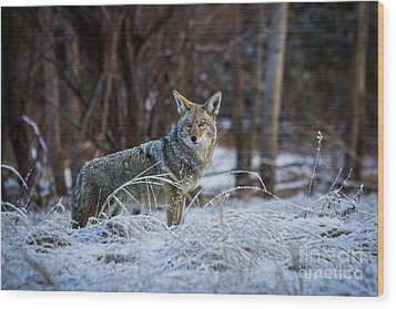 Coyote In The Meadow  Wood Print