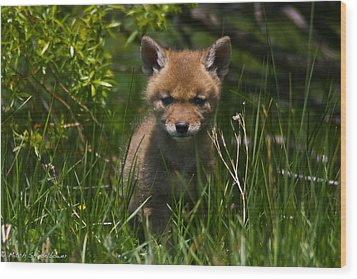 Wood Print featuring the photograph Coyote Pup by Mitch Shindelbower