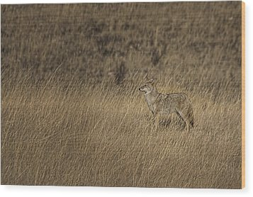 Coyote Standing In Field Of Dried Wood Print by Roberta Murray