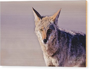 Coyote Stares Wood Print by Martha Marks