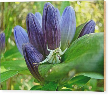 Crab Spider On Closed Gentian Wildflower - Gentiana Andrewsii Wood Print by Mother Nature