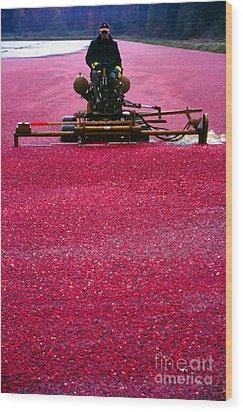 Cranberry Harvest Wood Print by Eva Kato