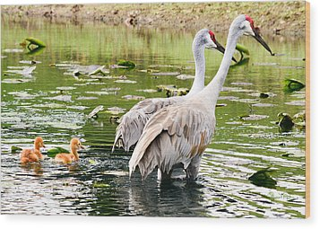 Crane Family Goes For A Swim Wood Print