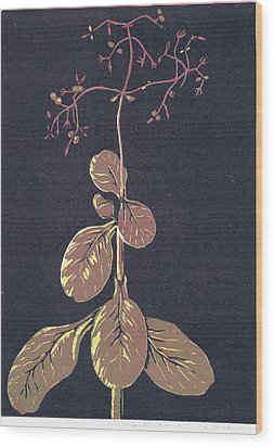 Crassula Multica Va Wood Print by C L Mvuku