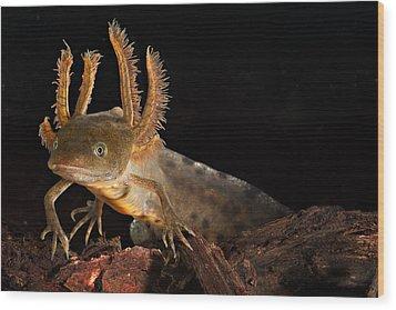Crested Newt Larva Wood Print by Dirk Ercken