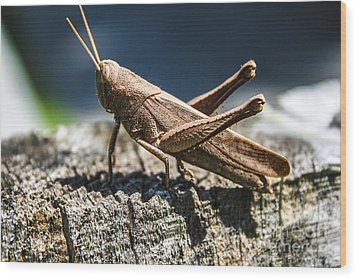 Cricket  Wood Print by Steven  Taylor
