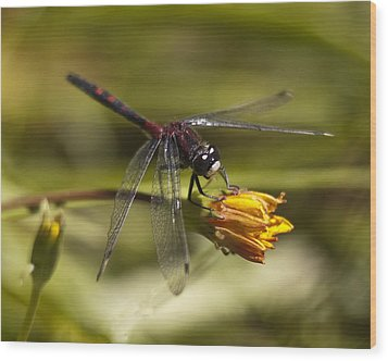 Wood Print featuring the photograph Crimson-ringed  White Face Dragonfly On Flower by Lee Kirchhevel