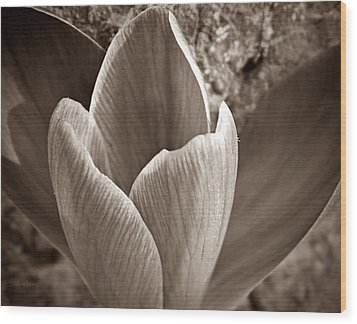 Crocus  Wood Print by Chris Berry