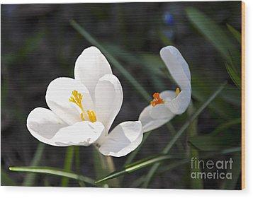 Crocus Flower Basking In Sunlight Wood Print by Elena Elisseeva