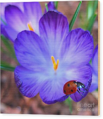 Crocus Flower With Ladybug Wood Print