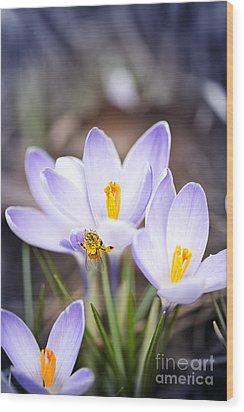 Crocus Flowers And Bee Wood Print by Elena Elisseeva