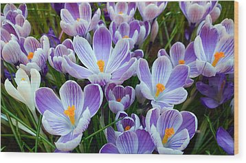 Crocus Flowers Wood Print
