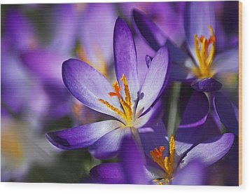 Crocus Focus Wood Print