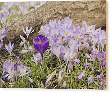 Crocus Garden In Spring Wood Print