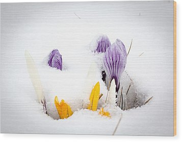 Crocus In The Snow Wood Print