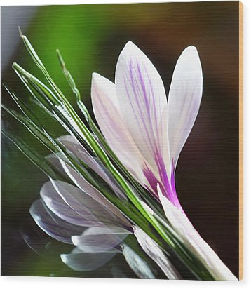Crocus Reflections 2 Wood Print by  Andrea Lazar