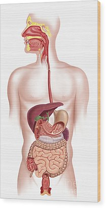 Cross Section Of Human Digestive System Wood Print by Leonello Calvetti