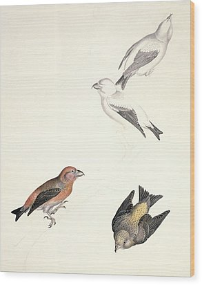 Crossbills, 19th Century Artwork Wood Print by Science Photo Library
