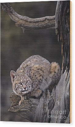 Crouching Bobcat Montana Wildlife Wood Print by Dave Welling