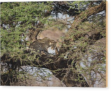 Crouching Leopard Wood Print by June Jacobsen
