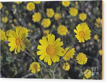 Wood Print featuring the photograph Crown Daisies by George Atsametakis