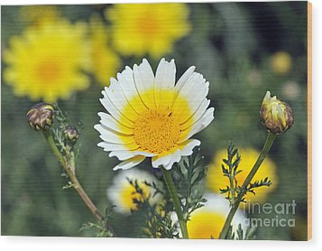 Wood Print featuring the photograph Crown Daisy Flower by George Atsametakis