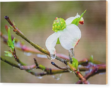 Cruel Winter For A Dogwood Flower Wood Print