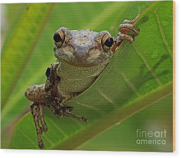 Cuban Tree Frog Wood Print