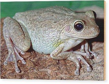 Cuban Tree Frog Osteopilus Wood Print by Millard H. Sharp