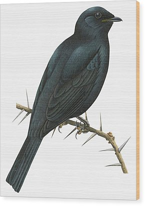 Cuckoo Shrike Wood Print by Anonymous