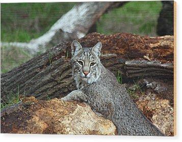 Curious Bobcat  Wood Print by Jean Clark