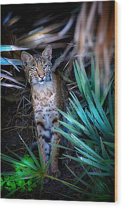 Curious Bobcat Wood Print by Mark Andrew Thomas