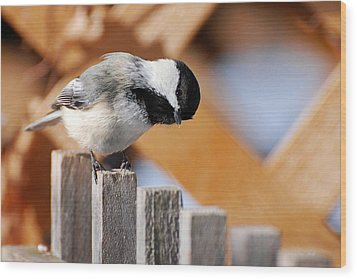 Curious Chickadee Wood Print by Christina Rollo