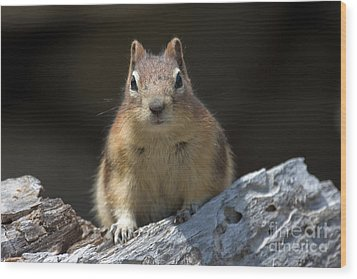 Wood Print featuring the photograph Curious Chipmunk by Chris Scroggins