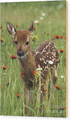 Curious Fawn Wood Print by Chris Scroggins