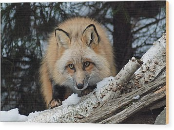 Curious Fox Wood Print by Richard Bryce and Family