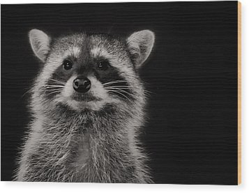 Curious Raccoon Wood Print