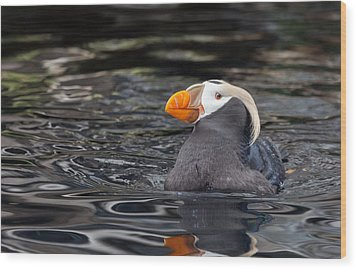 Curious Tufted Puffin Wood Print by June Jacobsen