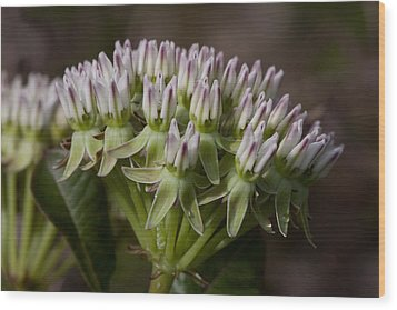Wood Print featuring the photograph Curtiss' Milkweed #3 by Paul Rebmann