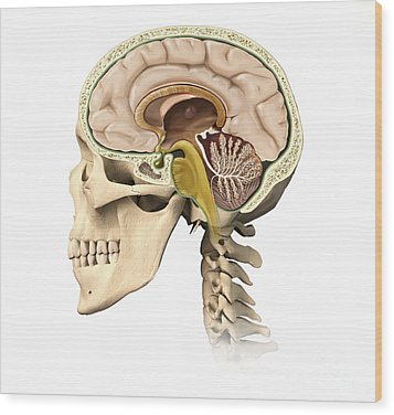 Cutaway View Of Human Skull Showing Wood Print by Leonello Calvetti