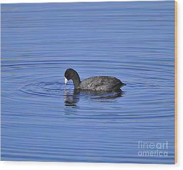 Cute Coot Wood Print by Al Powell Photography USA